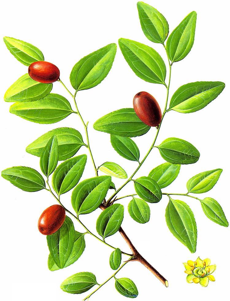 网友作品:枣树坐花坐果最好施什么肥?